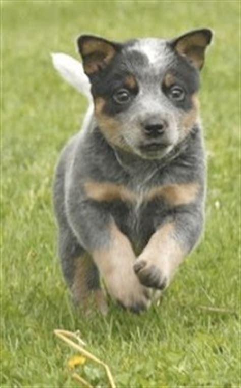 queensland heeler puppies for sale image gallery queensland heeler