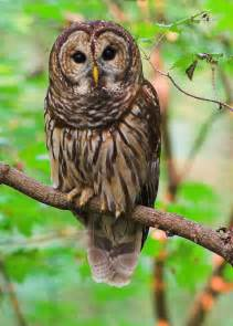 what is the barn owls scientific name barred owl keeps rodent population