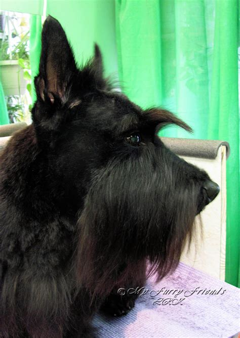 hair cuts for a scottish terrier how to cut a scottish terriers hair pet grooming the