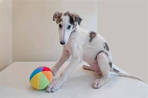 borzoi puppies for sale borzoi puppies www pixshark images galleries with a bite