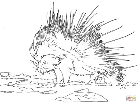cape porcupine coloring page free printable coloring pages