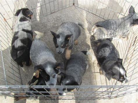 blue heeler puppies for sale in florida blue heeler australian cattle puppies for sale in jacksonville florida