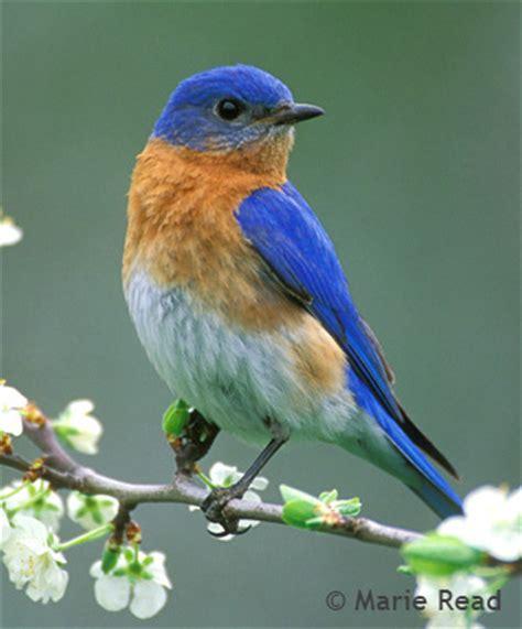 bluebird talkings lang elliott