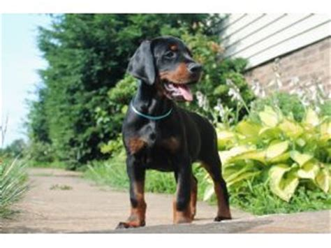 doberman puppies for sale va doberman pinscher puppies for sale canis maximus doberman puppies high quality