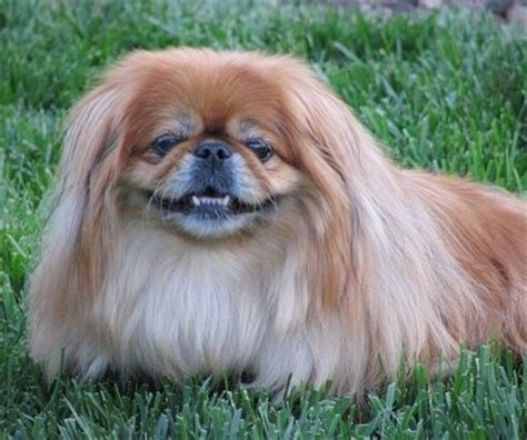 pekingese pictures pekingese breed information and pictures