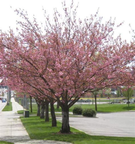 city of coeur d alene japanese flowering cherry