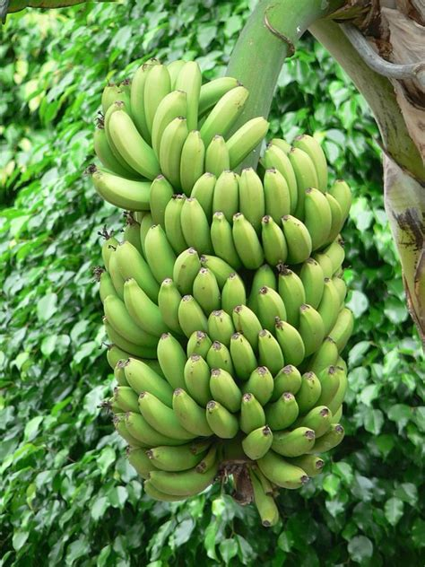Bananas On Tree | file green bananas tree jpg
