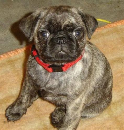 i want a pug puppy i want pug and words on