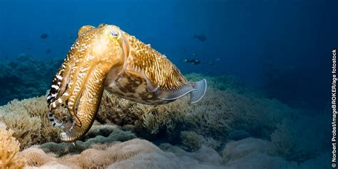 cuttlefish changing color the color changing ability of the cuttlefish watchtower