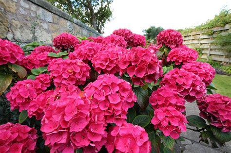 how to plant colorful flowering azaleas rhodos espoma