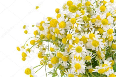immagini di fiori margherite up di fiori bellissime margherite foto stock