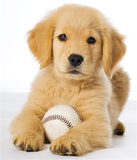 golden retriever pin golden retriever puppies wallpaper click to view brown hairs