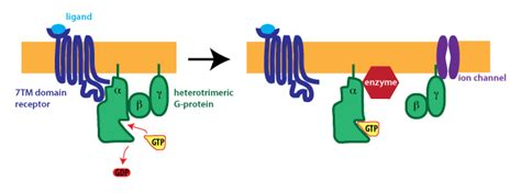 g protein activation steps g protein coupled receptors