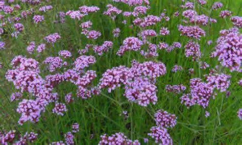 imagenes de flores verbenas verbena como plantas medicinal y sus propiedadas curativas