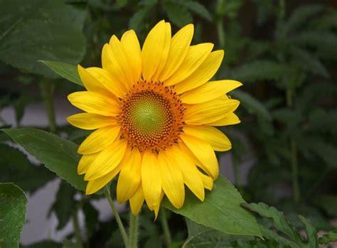 imagenes de flores de girasol usos ornamentales del girasol plantas