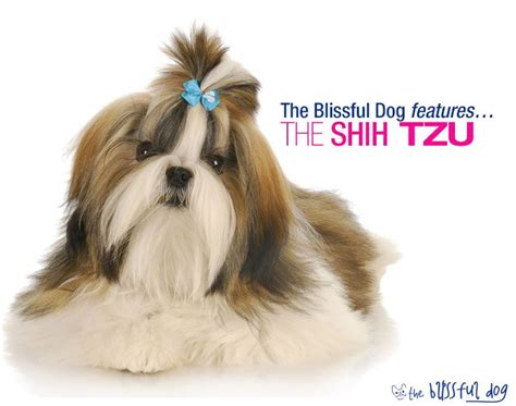 shih tzu pronunciation dictionary pin by the blissful on the blissful shih tzu