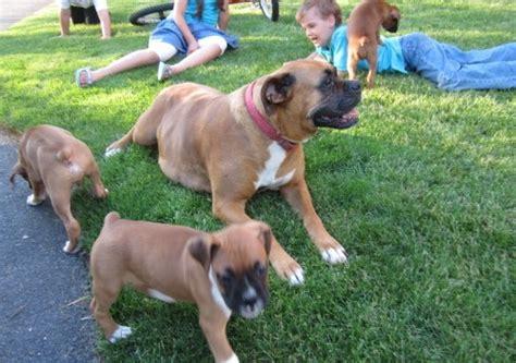 boxer puppies for sale ta boxer sale singapore boxer puppies buy buy boxer breeders boxer dogs breed boxer