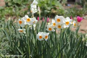 narcissus flower picture 28