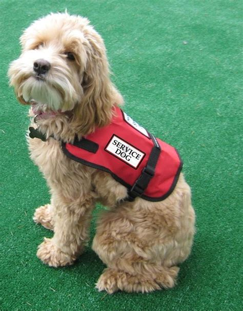 best dogs to as service dogs 48 best images about service dogs on service secret menu and
