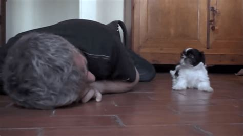 when is a shih tzu puppy grown tiny shih tzu puppy with grown is impossibly adorable