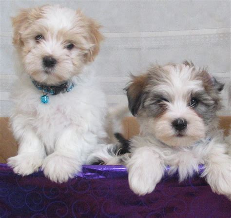havanese dogs puppies pictures