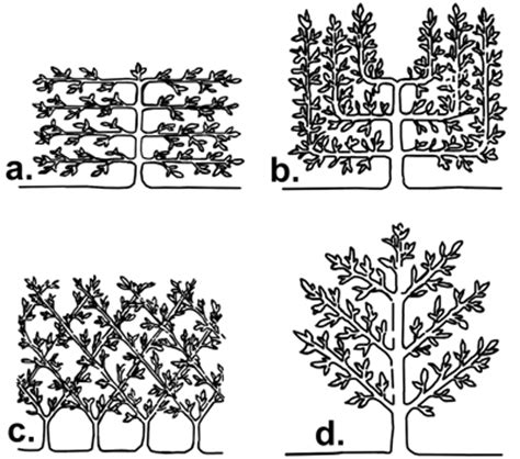 espalier designs and advice for climbing hydrangea