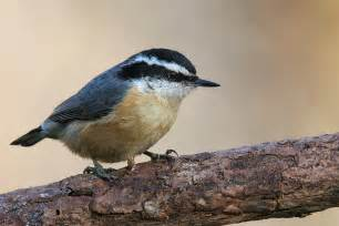file red breasted nuthatch jpg wikipedia