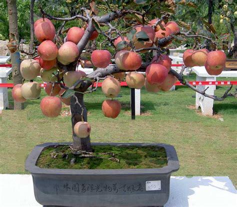 Jual Bibit Apel Bonsai tanam bonsai apel bebeja