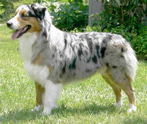 shepherd dogs australian shepherd puppies pictures miniature diet cycles facts