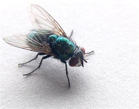 sognare mosche in casa sognare mosche fastidio continuo libro dei sogni