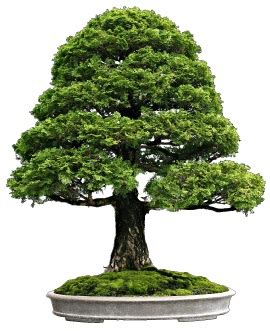 the bonsai bible the interesting facts about bonsai just fun facts
