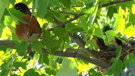 birds in their natural habitat american robin raising the