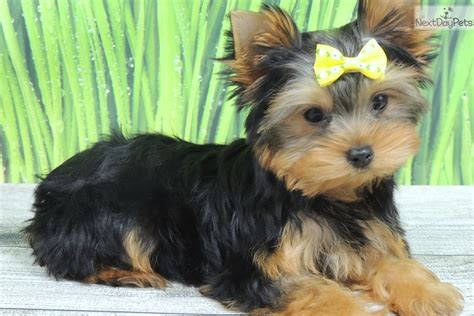 yorkie for sale illinois terrier yorkie puppy for sale near chicago illinois 9022414d 1521
