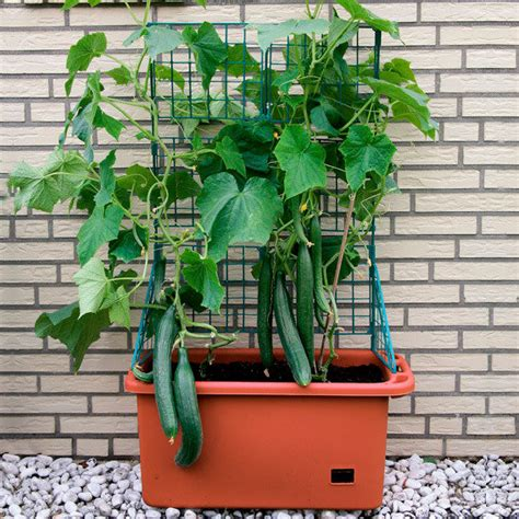 garten pötschke zucchini black forest zucchini black forest f1 4 99