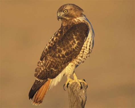 the hawks red tailed hawk audubon field guide