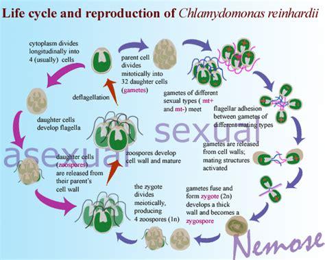 chlamydomonas cycle diagram chlamydomonas reinhardtii unicellular algae cycle