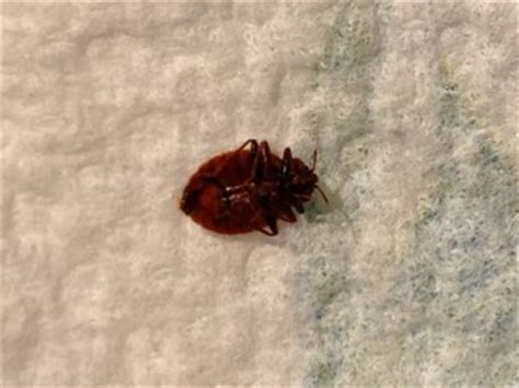 bed bug   bed bugs london