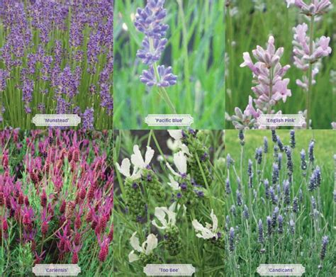 lavender growing tips garden inspiration pinterest