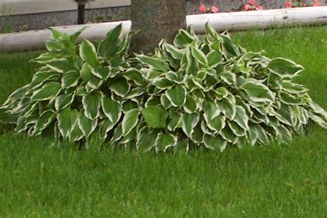 how to grow hostas under a cedar tree hostas plants