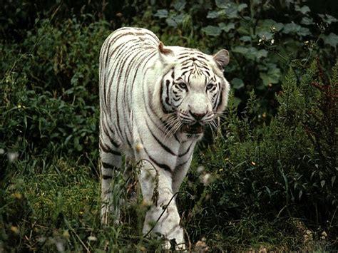 Yzv Set Tiger wallpapers white tiger desktop wallpapers