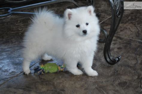 american eskimo puppy for sale american eskimo dogs for sale picture and images