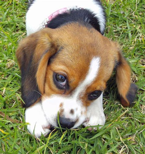beagle mix puppy the beagle mix puppies daily puppy