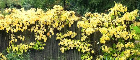 Plante Grimpante Pousse Rapide by Plantes Grimpantes A Croissance Rapide Cheap Luakebia
