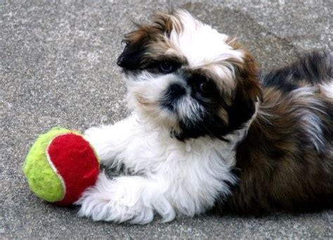 shih tzu won t eat food 14 reasons why shih tzus are the worst dogs