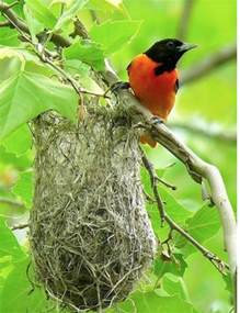 how to attract baltimore orioles to your backyard 25 best ideas about baltimore orioles birds on pinterest
