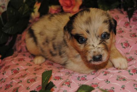 how often should you do red light therapy shamrock rose aussies scroll down for available puppies