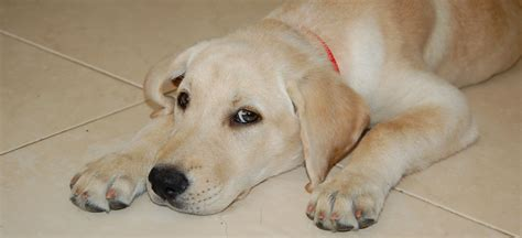 Labs Shedding by Labrador Retriever Information Breeds At Dogthelove