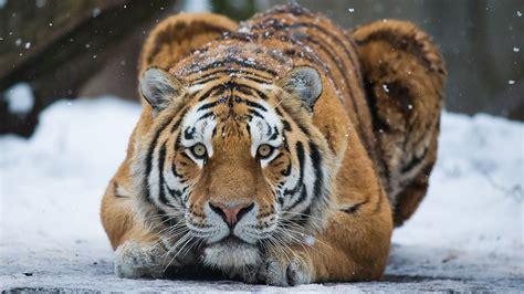 tiger denmark zoo visitdenmark
