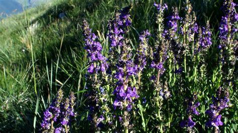 fiore violetto fiore violetto linaria purpurea forum natura