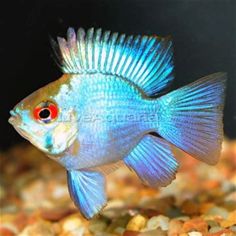 Blue Electric Ballon 1000 images about freshwater tropical fish on cichlids electric blue and fish